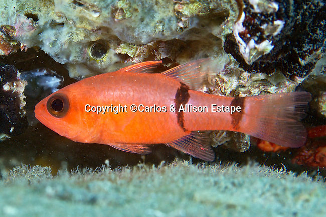 Apogon binotatus, Barred cardinalfish, Blue Heron Bridge, Florida