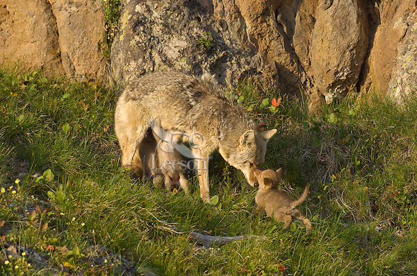 Wild Coyote (Canis latrans) mom nursing pups.  Western U.S., June.......