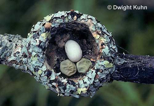 HU13-059x  Ruby-throated Hummingbird - nest made of lichens and spider webs, size comparison of egg with peas -  Archilochus colubris