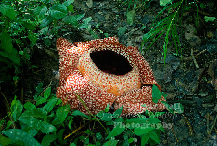 Rafflesia is a genus of parasitic flowering plants. It contains approximately 28 species (including four incompletely characterized species as recognized by Willem Meijer in 1997), all found in southeastern Asia, on the Malay Peninsula, Borneo, Sumatra, Thailand and the Philippines.<br />