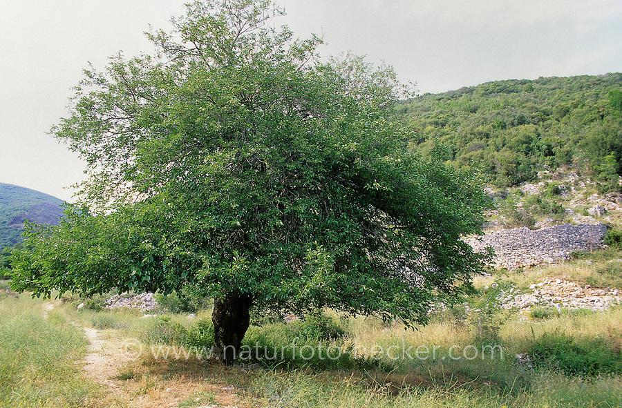 Schwarzer Maulbeerbaum, Maulbeere, Maulbeeren, Morus nigra, Black Mulberry, Common Mulberry