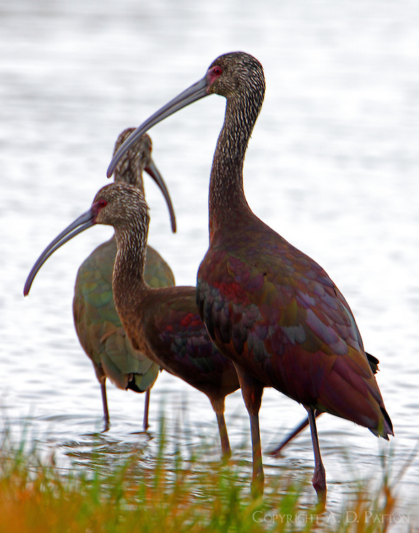 Trio of white-faced ibises in winter plumage
