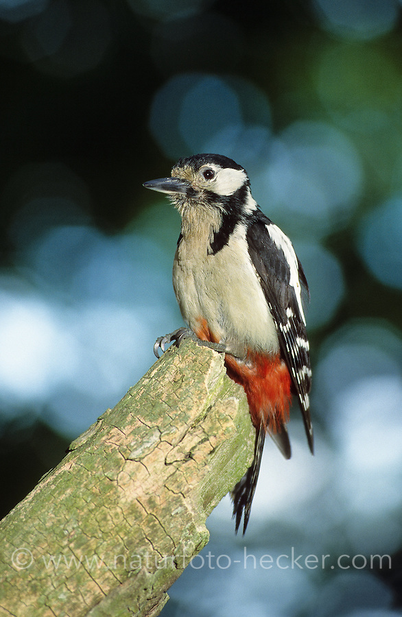 Buntspecht, Bunt-Specht, Specht, Dendrocopos major, Picoides major, great spotted woodpecker
