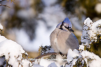 01288-05406 Blue Jay (Cyanocitta cristata) in Juniper tree (Juniperus chinensis 'Keteleeri') in winter, Marion Co., IL