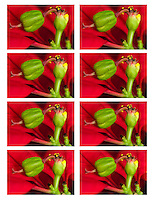 Eight separate images of the same female poinsettia flower; these eight images are all focused on a slightly different plane, and to create the final image I blended all of these into a single image using Photoshop.  Using this technique preserved sharpness, while letting me precisely control the final depth of field. plane, and to create the final image I blended all of these into a single image using Photoshop.  Using this technique preserved sharpness, while letting me precisely control the final depth of field.