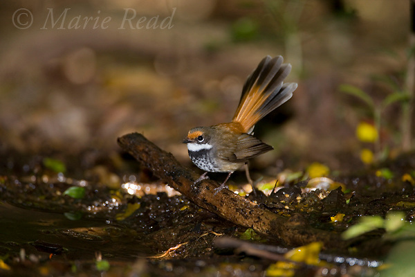 Rufous Fantail (Rhipidura rufifrons), at a water pool on the forest floor, Lamington National Park, Queensland, Australia