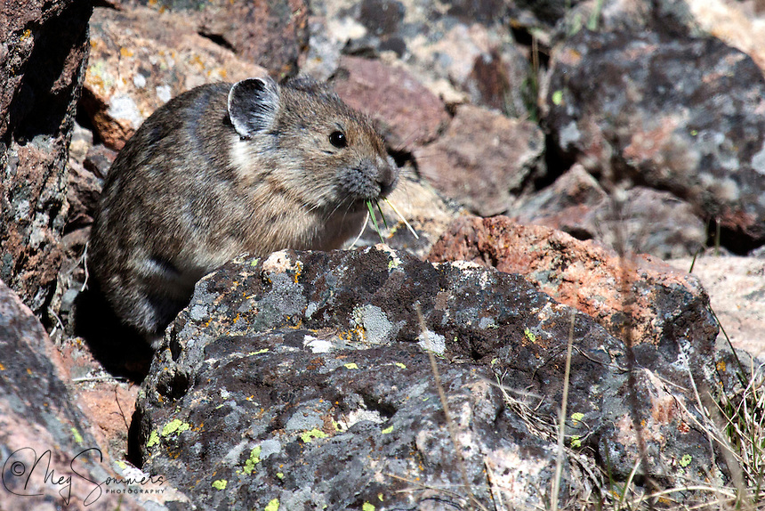 "The pika is a small mammal, with short limbs, rounded ears, and no external tail. Pikas are diurnal or crepuscular. They show their peak activity just before the winter season. Pikas do not hibernate, so they generally spend time during the summer collecting and storing food they will eat over the winter. Each rock-dwelling pika stores its own ""haypile"" of dried vegetation."