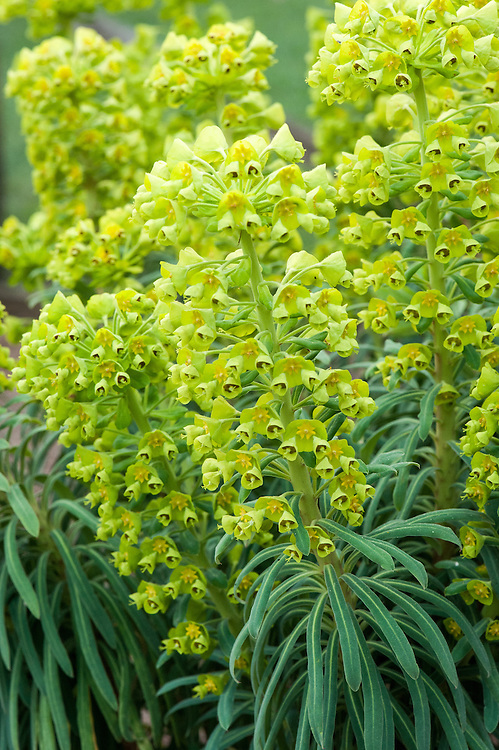 Euphorbia characias subsp. wulfenii 'Lambrook Gold', mid March.