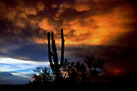 Mammatus clouds drift overhead as part of a vivid monsoon sunset silhouetting a saquaro cactus in the sonoran desert of central Arizona in August.