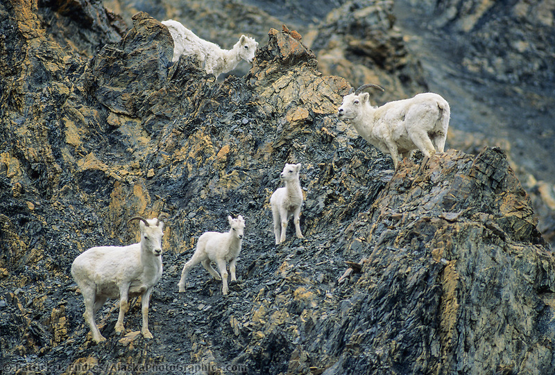 Dall sheep ewes and lambs on a rocky cliff, Denali National Park, Alaska.