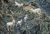 Dall sheep ewes and lambs on a rocky cliff, Denali National Park, Alaska.
