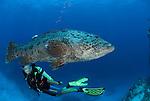 Potato cod with divers (Epinephelus tukula).Rowley Shoals, Western Australia