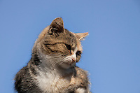A Tabby house Cat sitting on a Roof, photographed close up with the blue Autumn Sky as backdrop.