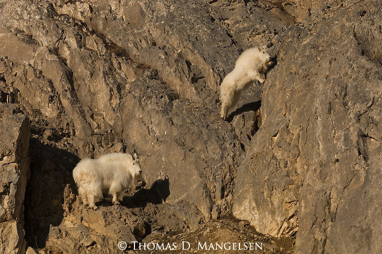 Two mountain goats climb cliffs in Wyoming.