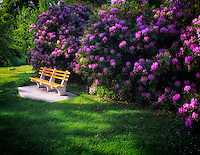 Bench with blooming rhododendrons. Volunteer Park, Seattle, Washignton