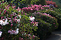 07/05/16 <br /> <br /> Rhododendrons and azaleas have burst into full bloom after a couple of days of sunshine, in Lea Gardens, near Matlock in the Derbyshire Peak District.<br /> <br /> All Rights Reserved: F Stop Press Ltd. +44(0)1335 418365   +44 (0)7765 242650 www.fstoppress.com