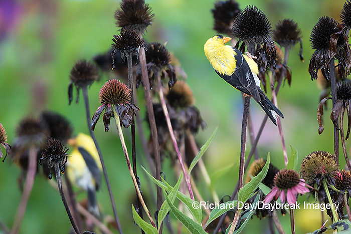 01640-16311 American Goldfinch (Spinus tristis) male eating purple coneflower (Echinacea purpurea) seeds Marion County, IL.