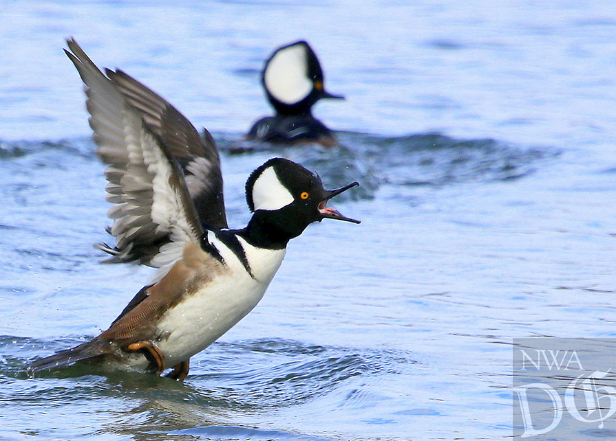Courtesy photo/PHYLLIS KANE<br />DUCKS IN THE 'HOOD<br />Hooded mergansers show their unique plumage at Lake Faytteville. Phyllis Kane of Fayetteville took the picture Jan. 13.