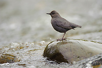 Adult American Dipper (Cinclus mexicanus) in rapids. King County, Washington. April.