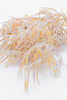 Hakonechloa macra All Gold in winter snow and ice