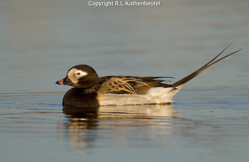 Long-tailed duck drake in summer plumage swimming in a quiet pond on the Alaskan tundra<br />