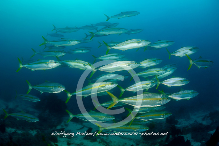 Seriola lalandi, Gelbstreifenmakrele, Schule von Gelbstreifenmakrelen, Cape Yellowtail amberjack, School of Yellowtail amberjacks, False Bay, Simons Town, Suedafrika, Indischer Ocean, False bay, Simons Town, South Africa, Indian Ocean