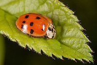 Multicolored Asian Lady Beetle (Harmonia axyridis), West Harrison, Westchester County, New York