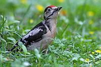 Buntspecht, Jungvogel bei der Nahrungssuche am Boden, Bunt-Specht, Specht, Spechte, Dendrocopos major, Picoides major, Great spotted woodpecker, Pic épeiche