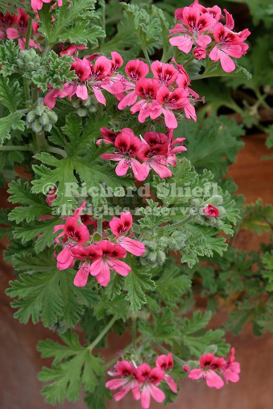 RED-FLOWERED SCENTED GERANIUM, GERANIUM HYBRID