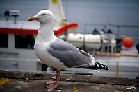 BIRDS<br /> Seagull<br /> Oban, Scotland