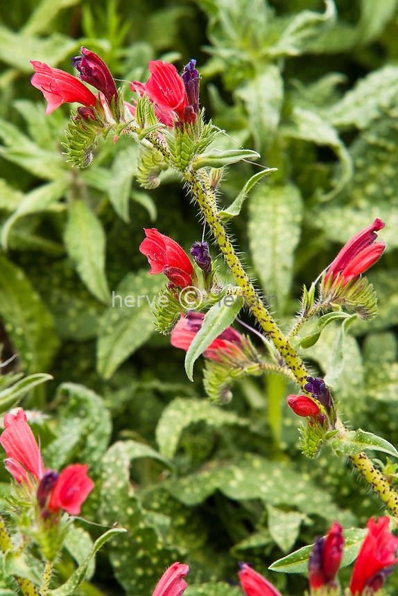 Vipérine à feuilles étroites (Echium angustifolium) // Hispid Viper's-bugloss, Echium angustifolium