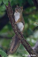 0705-1012  Red Squirrel, Tamiasciurus hudsonicus  © David Kuhn/Dwight Kuhn Photography