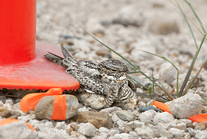 560490007 a wild lesser nighthawk chordeiles acutipennis perches on a nest next to a highway warning cone on a caliche road in mission texas united states