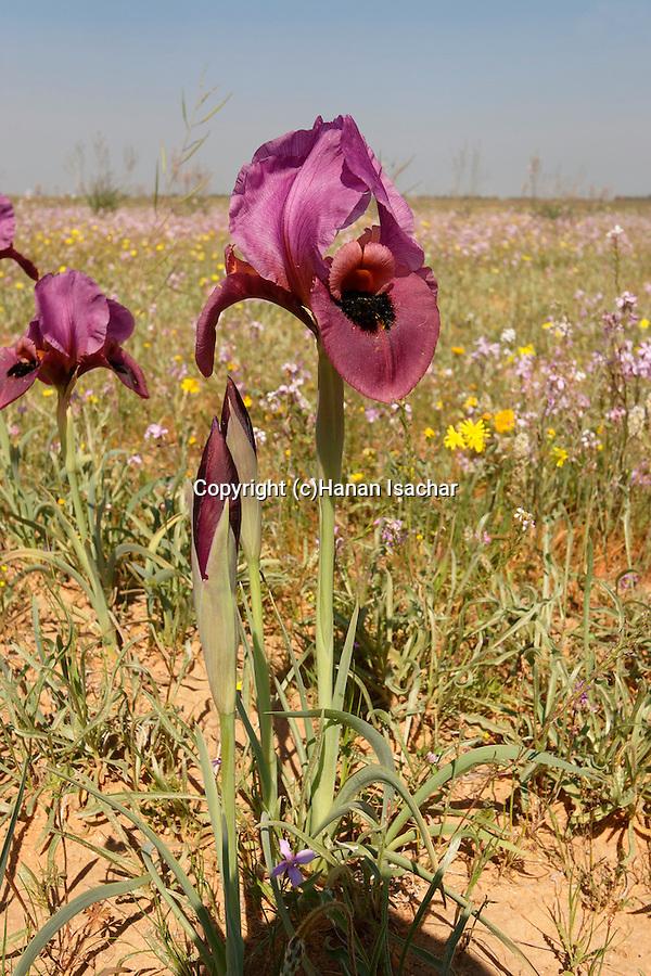 Israel, the Northern Negev. Iris Mariae in Besor region
