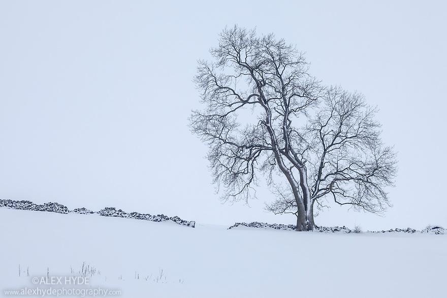 Ash tree in winter {Fraxinus excelsior} near Bonsall village, Peak District National Park, Derbyshire, UK. January.