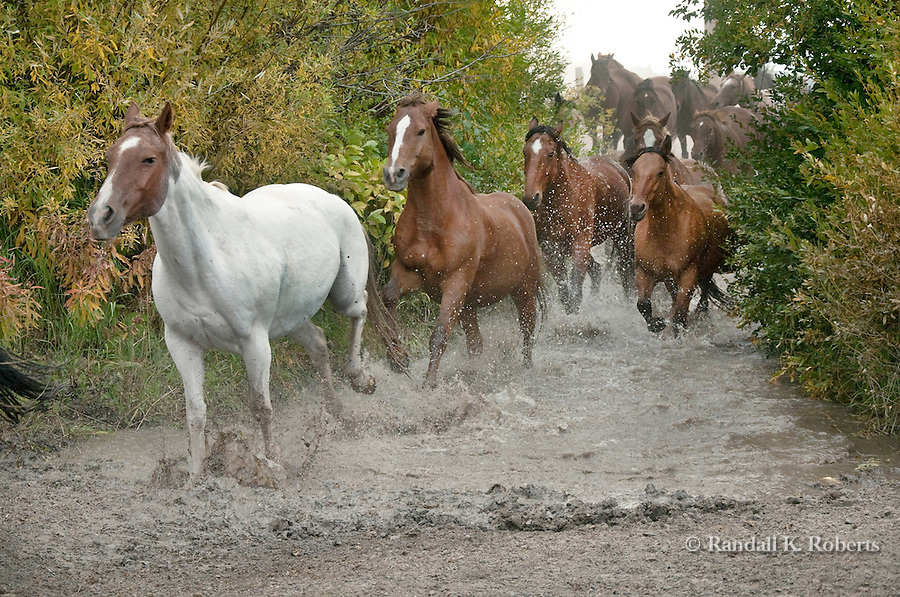 Horses run through water on ranch in Grand Teton National Park, Wyoming