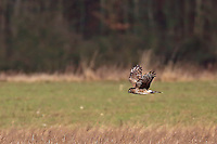 Kornweihe, Korn-Weihe, Weihe, Weibchen im Flug, Flugbild, Circus cyaneus, hen harrier, northern harrier, female in flight, Le Busard Saint-Martin