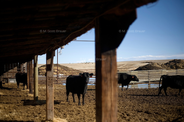 Pregnant cattle stand in a holding pen awaiting ultrasounds to determine the progress of their gestation on the Judisch Ranch outside of Ledger, Montana USA.  The ranch has more than 700 cattle, primarily Black Angus, most of which are destined to be sold for human consumption.