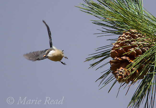 Pygmy Nuthatch (Sitta pygmaea) flies off from Jeffrey Pine cone  carrying pine seed (nut) in its bill, Autumn, Mono Lake Basin, California, USA