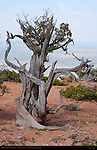 Bristlecone Pine, Cassidy Trail, Red Canyon, Dixie National Forest, Utah