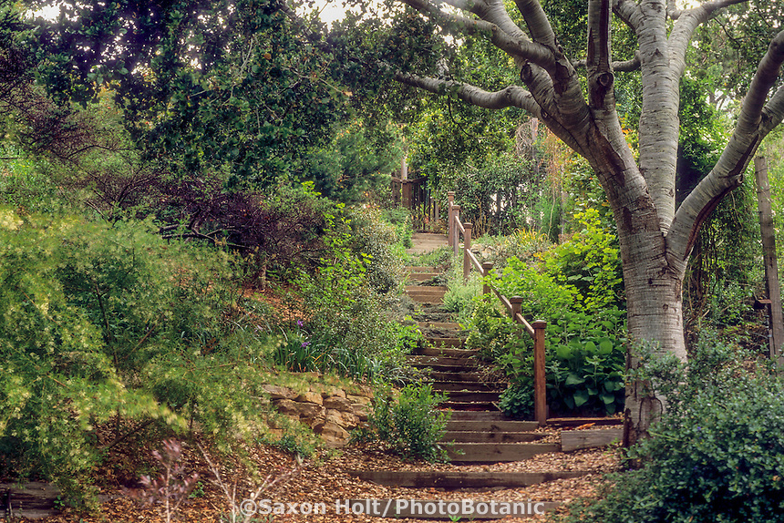 Wooden stairs pathway down hill in California native plant garden under Live Oak trees