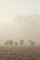 Cattle in Fog