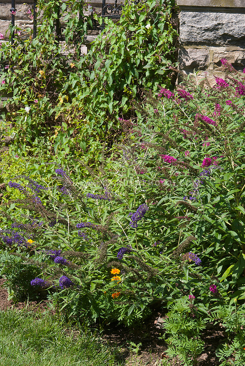 Buddleja aka Buddleia davidii Lo and Behold with taller butterfly bush next to stone house