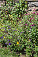Buddleja aka Buddleia davidii Lo and Behold with taller butterfly bush next to stone house