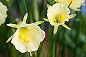 Hoop-petticoat daffodil (Narcissus romieuxii). From north-west Africa.