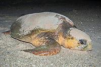 loggerhead sea turtle, Caretta caretta, returns to the sea after laying eggs, Lady Elliot Island, Great Barrier Reef, Queensland, Australia, Coral Sea, South Pacific Ocean
