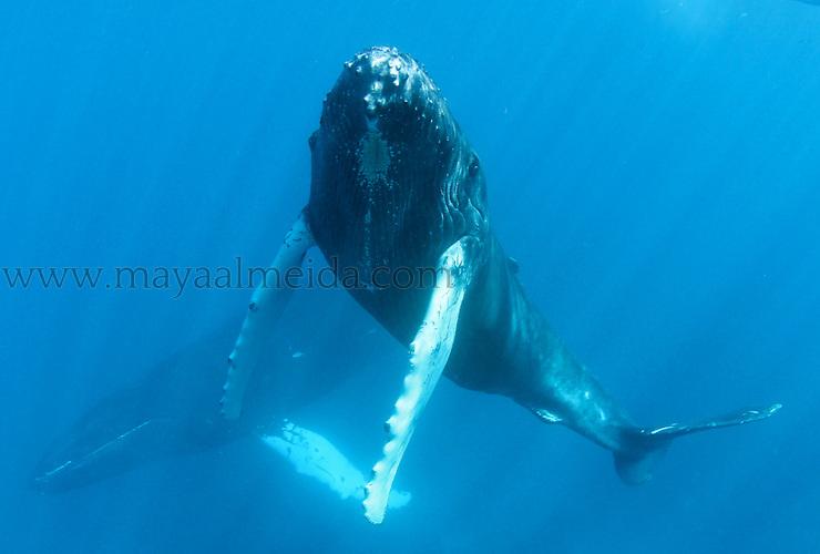 Humpback-whale-calf
