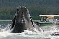 humpback whales, Megaptera novaeangliae, co-operatively bubble-net feeding near small whale watching boat, Stephen's Passage, Alaska, USA, Pacific Ocean
