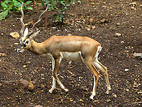 Beautiful Antelope roaming in Rajiv Gandhi zoological park in Pune