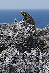 Cuban iguana (Cyclura nubila nubila) on the peninsula de Guanahacabibes (western point of Cuba). The total population of this subspecies  is estimated at between 40,000 and 60,000 individuals..
